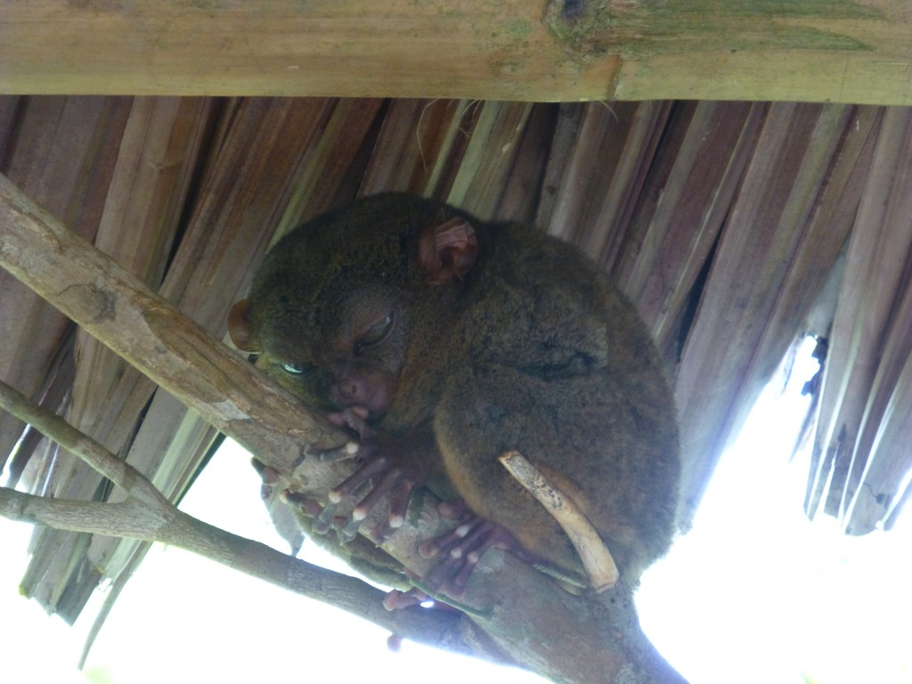 Daytrip on Bohol - Philippines - Tarsier