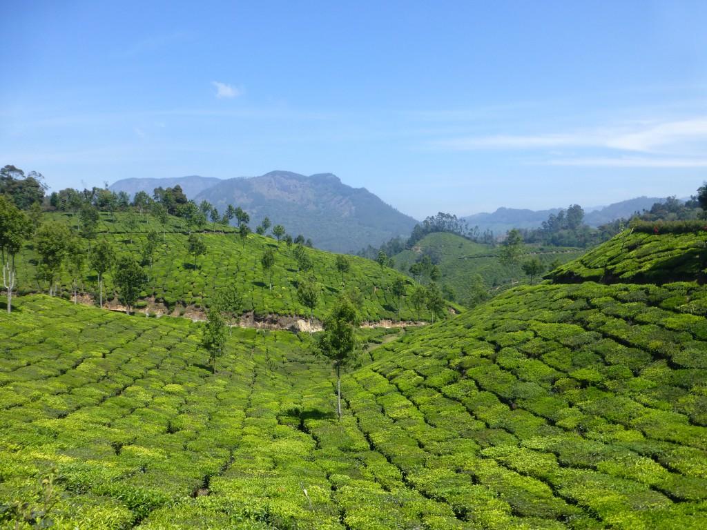 Teaplantations - Munnar, Kerala