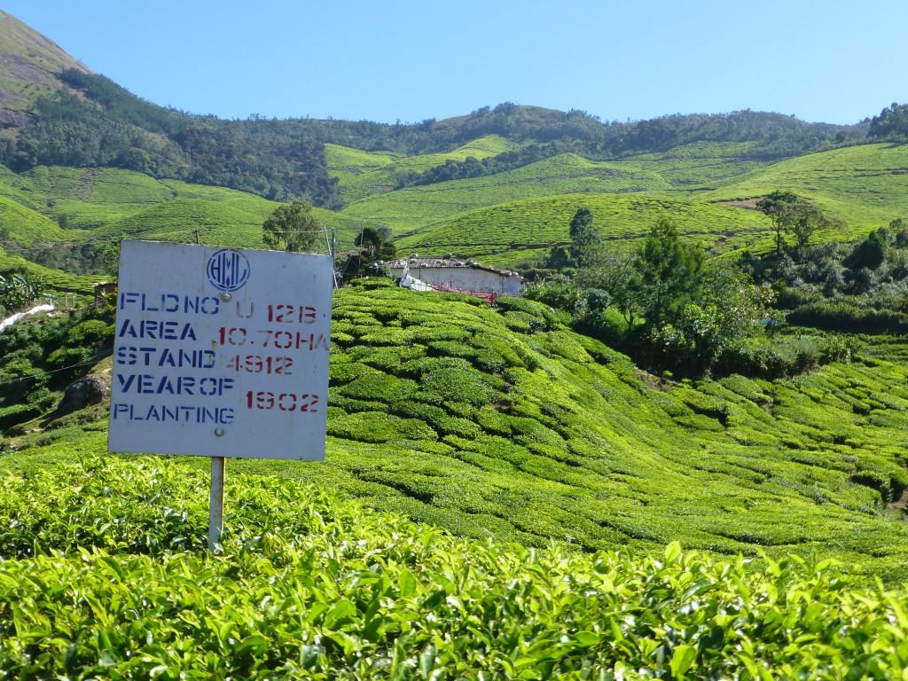 Teaplantation of Kerala - Munnar, Kerala