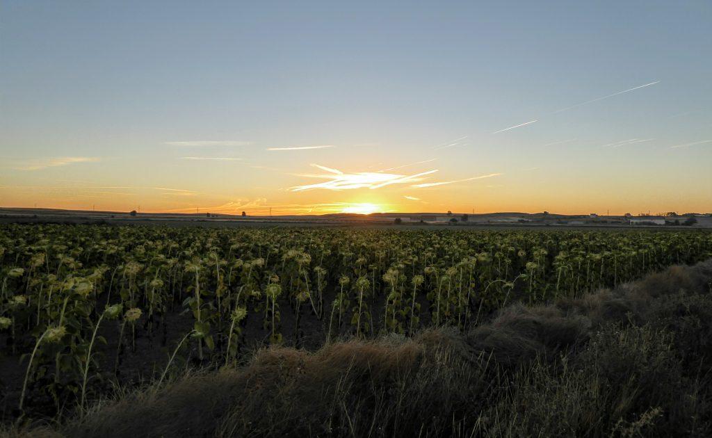 zonsopgang over zonnebloemen - pelgrimsroute