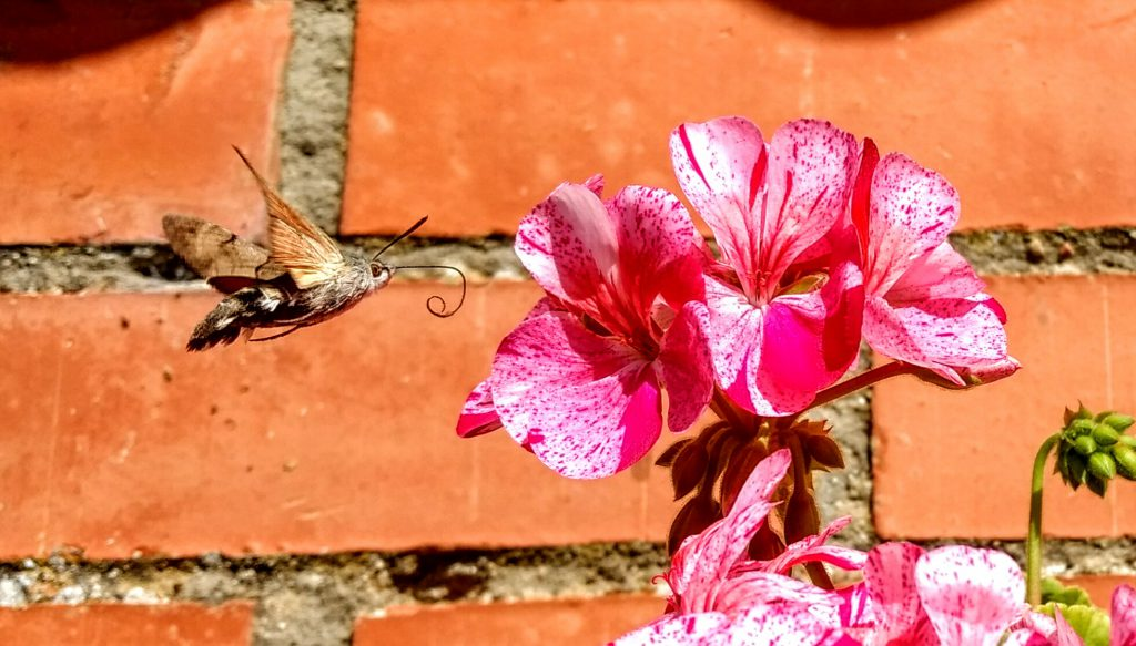 In de tuin van een Albergue, motvlinder