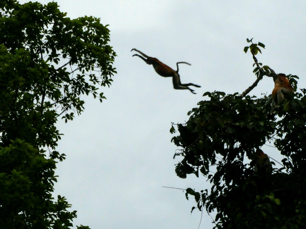 Proboscis aap in de Jungle van Kota Kinabatangan
