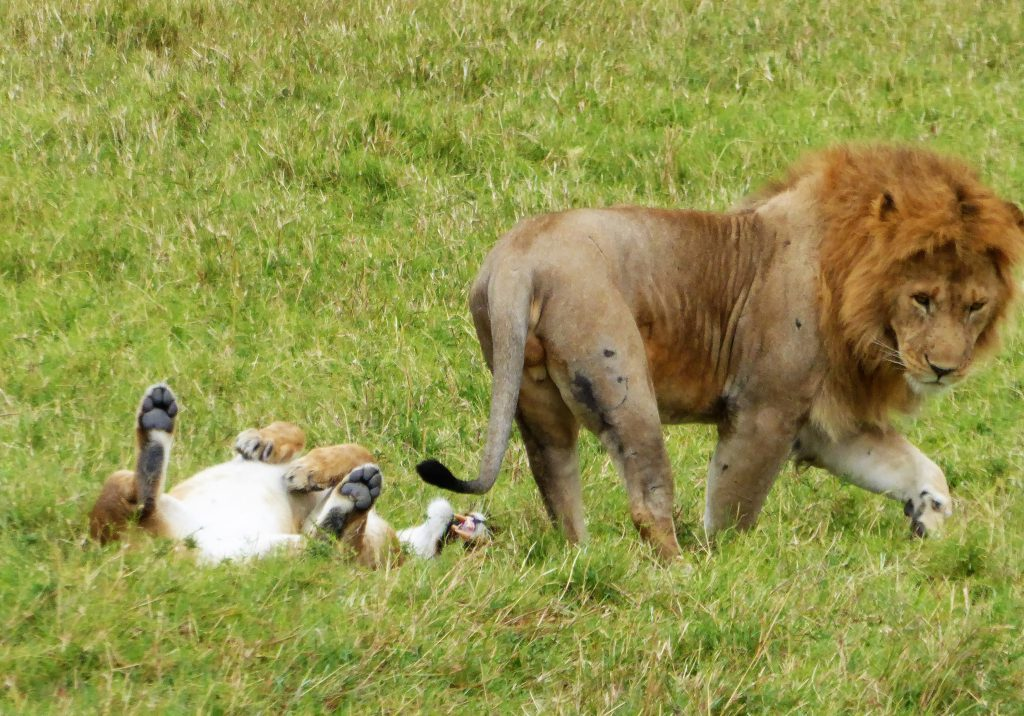 Leeuw en leeuwin in Masai Mara - Kenia
