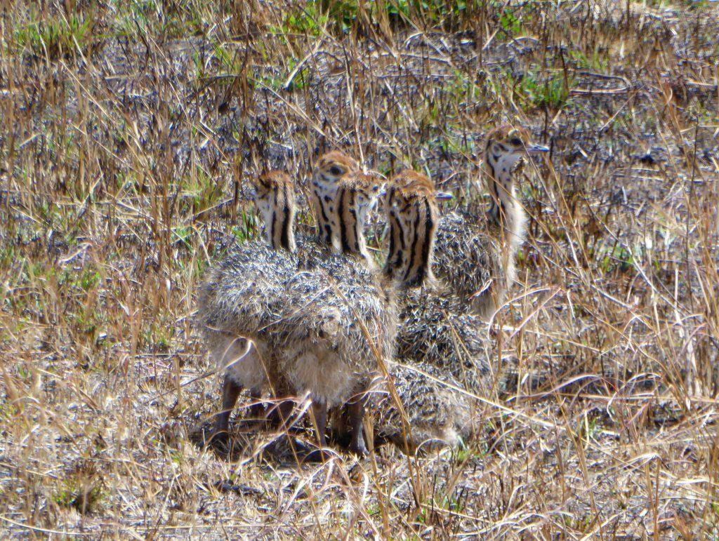 Kleine struisvogeltjes in NP Masai Mara - Kenia
