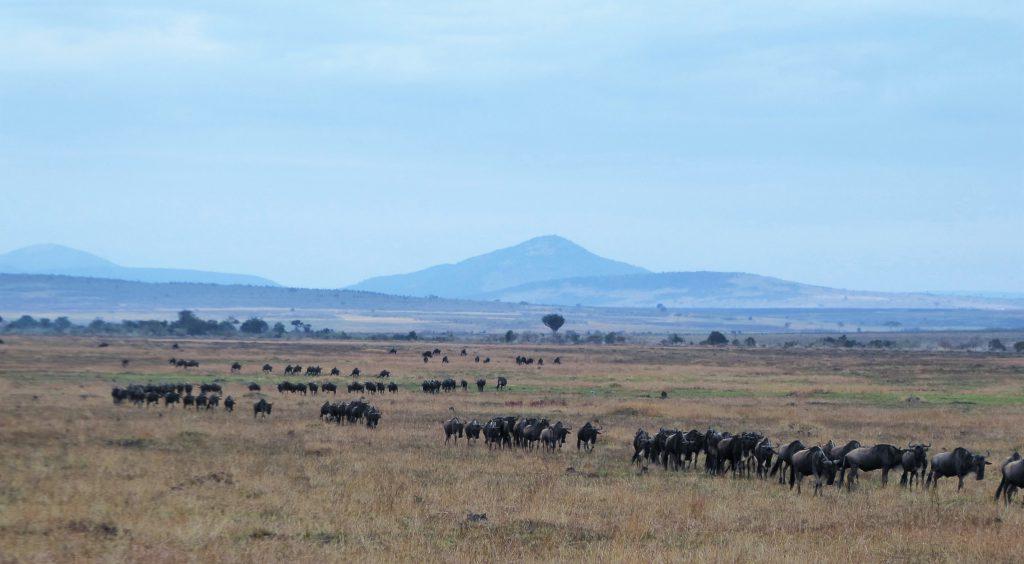 massale gnoe trek in NP Masai Mara - Kenia