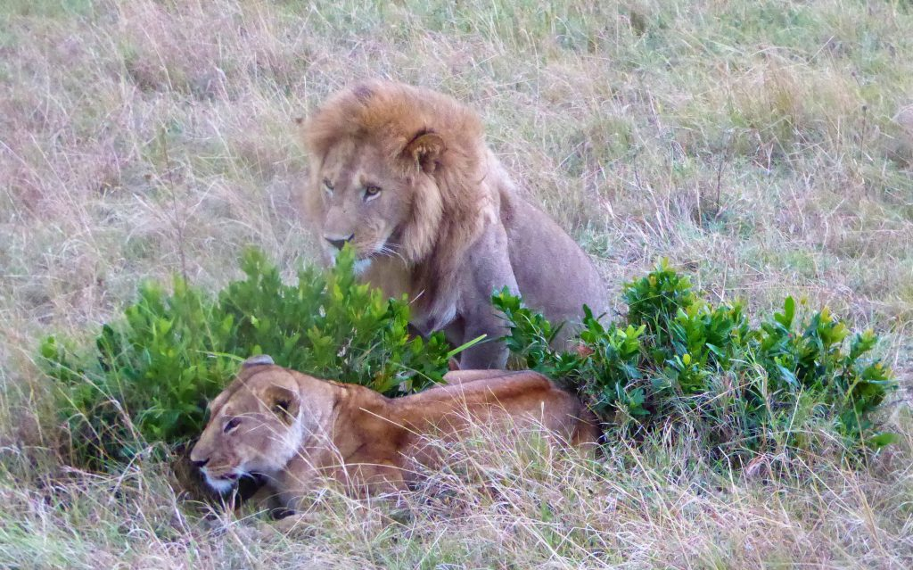 Leeuw en leeuwin @ Masai Mara - Kenia