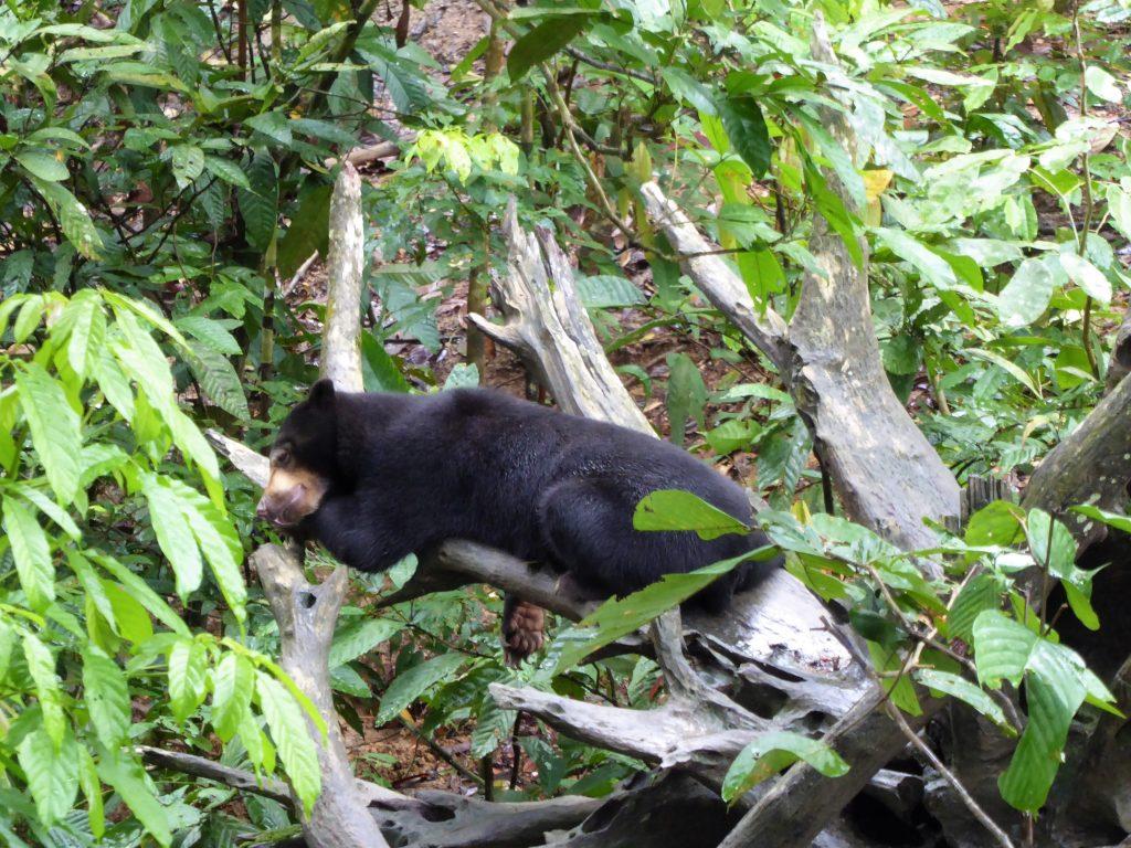 Travel Tips for Borneo - Sun Bear