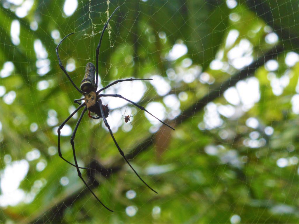 Spin in het regenwoud - Borneo