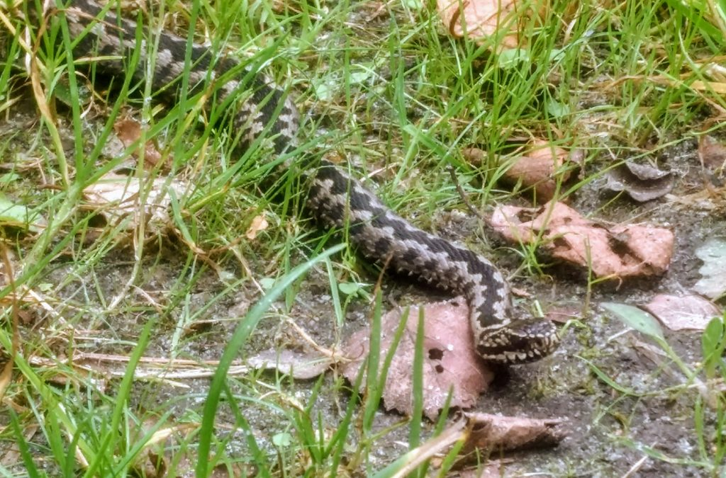 Safe Hiking in Nature - viper