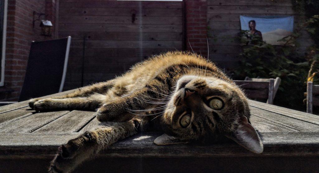 Katten kunnen doodgaan van de Eikenprocessierups