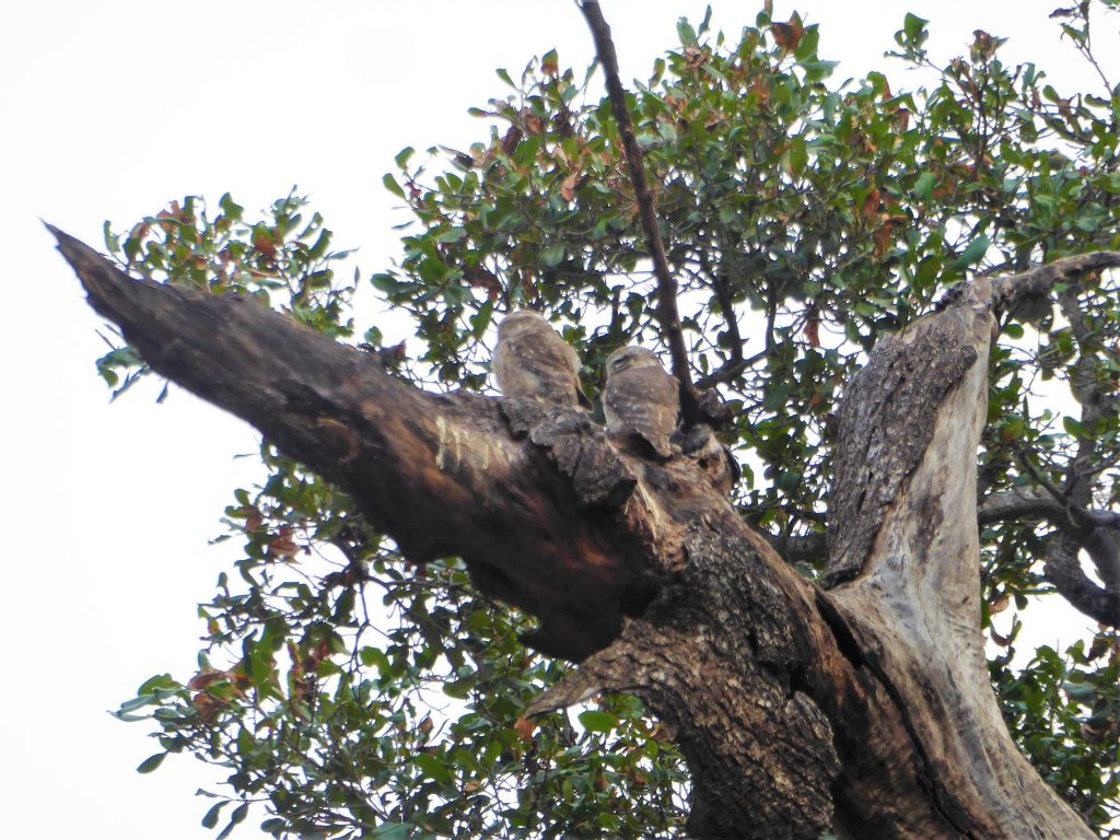 Spotting Owls in Ranthambore NP India