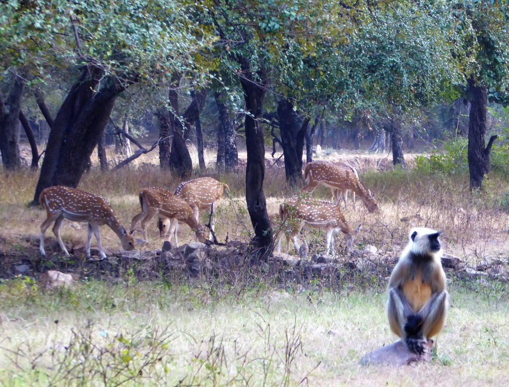 Spotting Sambar, deer and langurs in Ranthambore NP India