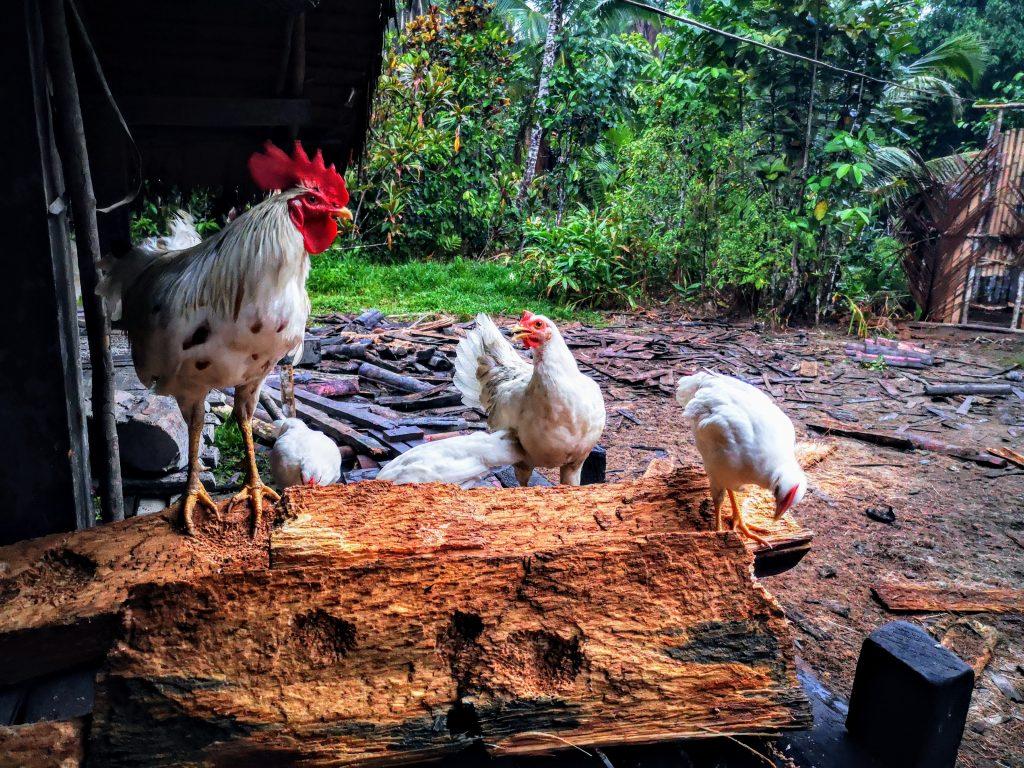 De kippen van sjamaan Pange - Sumatra, Indonesie