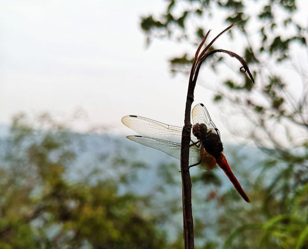 Dragonfly - Harau Valley, Sumatra, Indonesia