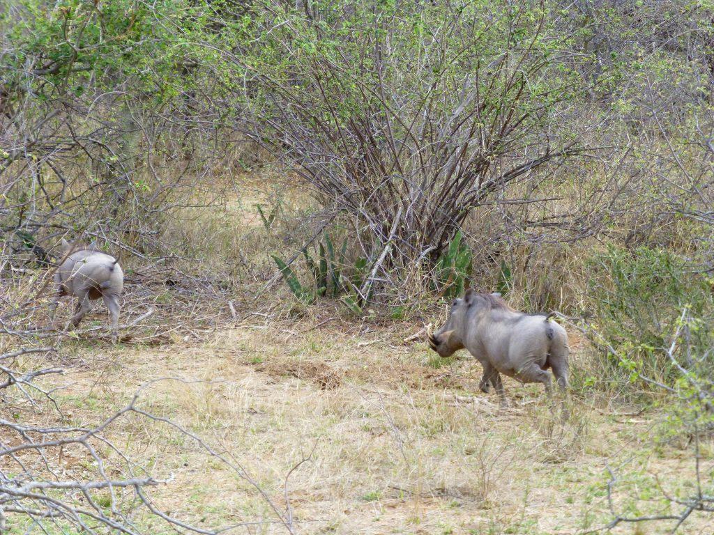 4 dgn Trip met Safari in NP Kruger - Johannesburg - Zuid Afrika (16)