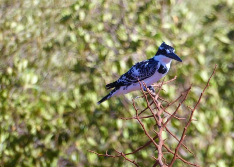 De bonte IJsvogel aan de kant van de weg, The Gambia