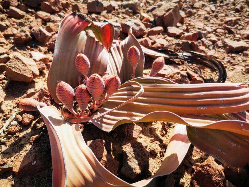 Welwitchia bij Palmwag Namibië