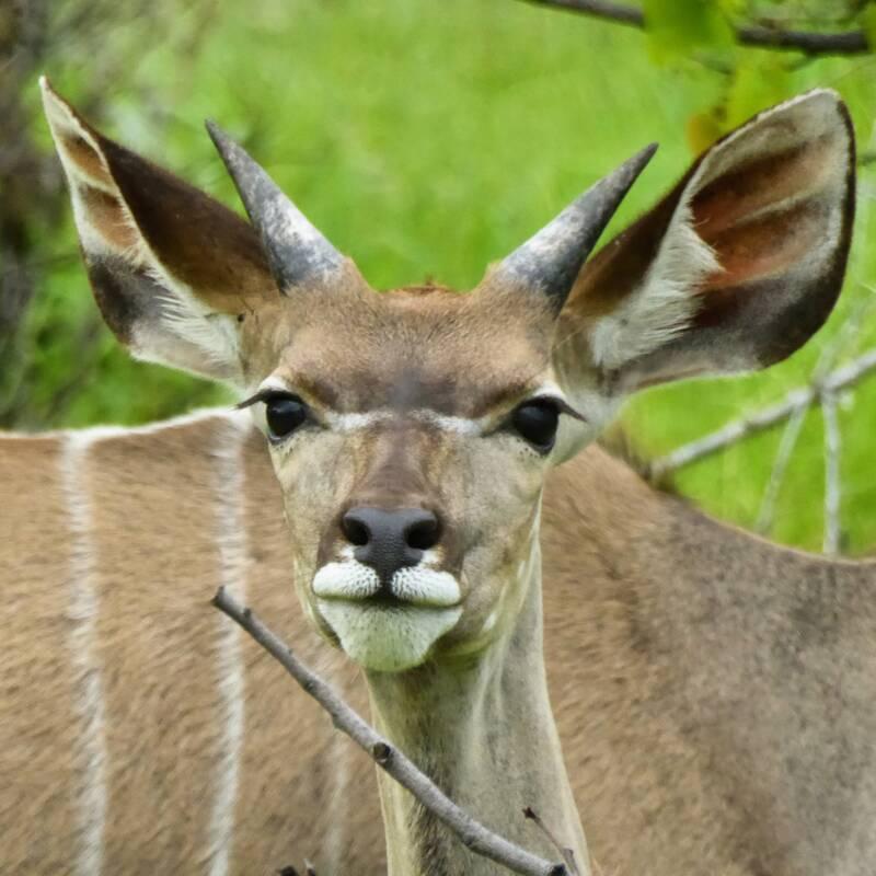 Curious Kudu in Etosha NP