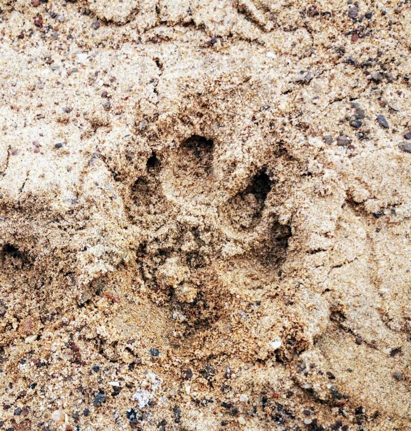 Leeuwen in de Namib woestijn Namibië