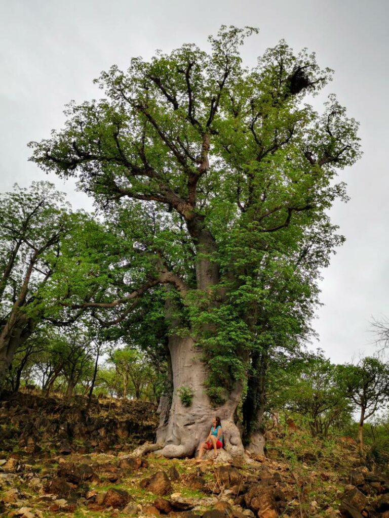 Baobab boom in Namibië langs de weg
